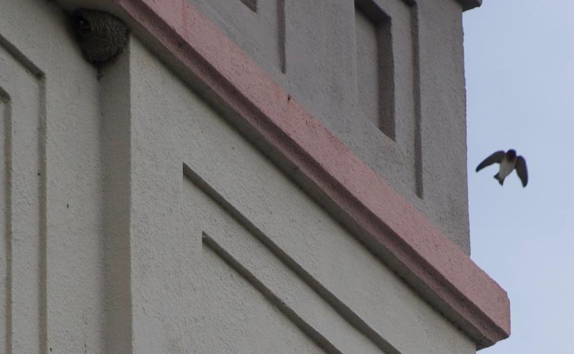 The Swallows of LakeMerritt
