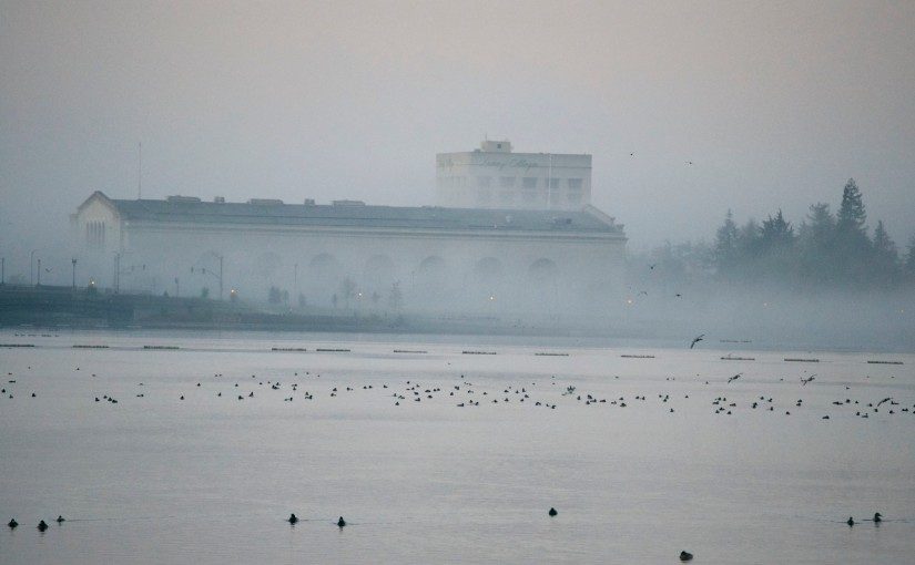 Lake Merritt - an early January morning, ducks galore